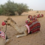 al-maha-resort-camel-005